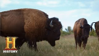 Download Ranchlands: Bison Season (Episode 4) | History Video