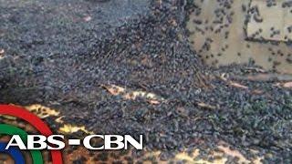 Download TV Patrol: Black bugs, namiminsala sa Palawan, Surigao del Sur Video