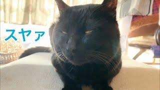 Download さっきまで起きてたのに急に寝たふりをする猫 Cat Pretend to Sleep Video
