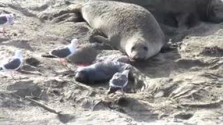 Download Baby Seal Attacked Video