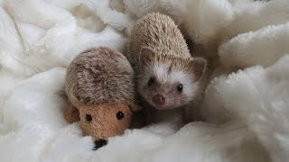 Download A day in the life of a Hedgehog !!! Video