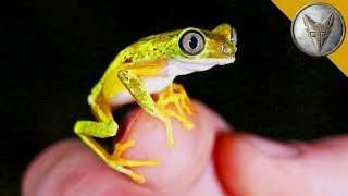 Download Rarest Frog in the World? Video
