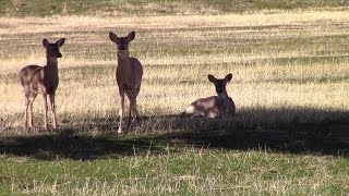Download Baby deer a year after the rescue and release Video