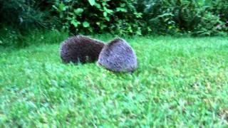Download Zwei kämpfende Igel im Garten Video