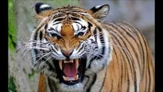 Download North Bengal Tiger - the 2nd Largest and Strongest Tiger in the world. Video