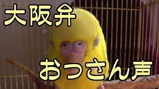 Download 【インコが飼いたくなる動画】声低くて大阪弁しゃべるインコ(suzu編) Video