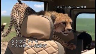 Download 野生チーターが車に入ってきた じっと我慢の末…… Video