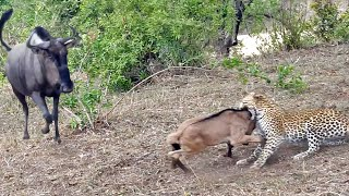 Download Battle Between Leopard & Wildebeest Mother over Calf Video