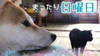 Download 柴犬と黒猫の日曜日 Lazy sunday cat and dog Video