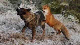 Download Fox vs Dog. Fox beat dog Video
