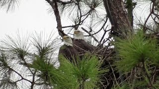 Download SWFL Eagles Sub Adult Visits Nest Tree-H & M Visit Later-Mating & Perching 10-08-18 Video