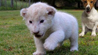 Download New Born White Lion Cub and Dogs Best Friends Video