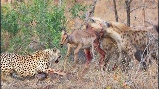Download Cheetahs and Hyenas Eat Impala Alive Video