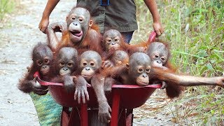 Download Orangutan - Funny Orangutans And Cute Orangutan Videos || NEW Video