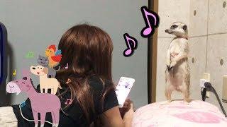 Download 歌を聴いた時のミーアキャットの反応が面白い!!【モナカ】 Video