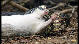 Download Snake Kills Rodent Which Fascinates Baby Capuchin - Wild Brazil - BBC Earth Video