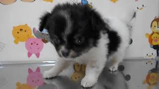 Download ペットショップ 犬の家 桑名店 「チワワ♂」「81321」 Video