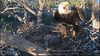 Download Big Bear Eagles ~ INTRUDER ALERT!! Shadow & Jackie DEFEND The Nest w/ SLO MO 5.1.19 Video