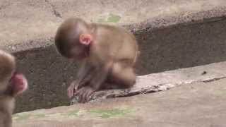 Download Baby Monkey crying. 叫ぶ赤ちゃんザル(釧路動物園) Video