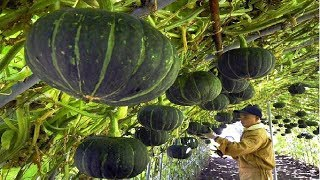 Download Asian Pumpkin Farming and Harvesting - Amazing Japan Agriculture Farm Video
