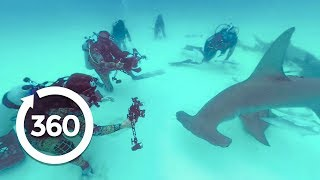 Download Filming Sharks: Getting the Shot (360 Video) Video