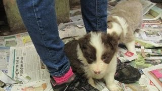 Download Meeting our new Border Collie puppy! Video