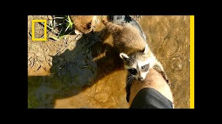 Download Adorable Raccoon Babies Make Human Friend | National Geographic Video