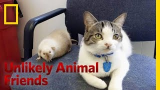 Download The Cat and the Rat | Unlikely Animal Friends Video