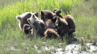 Download Silver Salmon Creek Alaska brown bear cubs Video