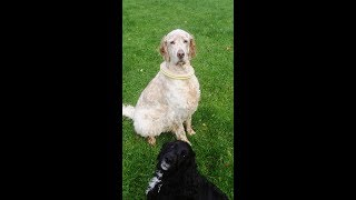 Download Cocker Spaniels Finlay, Millie & Murphy with English Setter Otis. Video