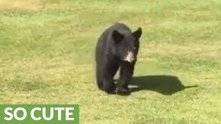 Download Wild bear cub gives golfer a loving hug Video