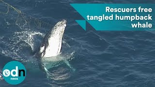 Download Rescuers free tangled humpback whale Video