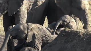 Download SafariLive Dec 12 - Little baby Elephant having fun. Video
