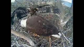Download Big Bear Eagle Cam ~ Stormy's Hissy Fit 4.18.18 Video
