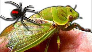 Download Curious Cicadas Redback Spider Test Tank Spiderlings Escape Emergency Video