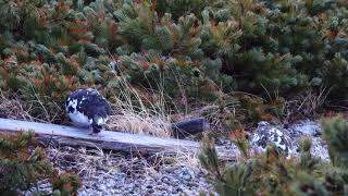 Download 4K 燕山荘の雷鳥のつがい Video