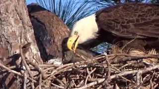 Download Eagle eating possum tail Video