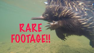 Download Australian Echidna Adventure - RARE FOOTAGE HD Video