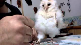 Download my 5 week baby barn owl Video