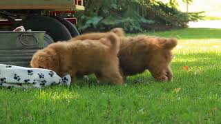 Download Mini Goldendoodle Puppies For Sale Abner and Ruthie Lynn Stoltzfus Video