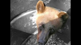 Download HUNTERS FIND BEAR STUCK IN BARREL! Video