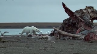 Download Polar Bears Feast On Dead Whale | Wild Alaska | BBC Earth Video