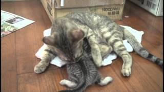 Download 偉大的母貓【喵喵】滿月全紀錄 Video