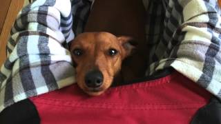 Download Noodle, The Paralyzed Dachshunds' Journey To Beating Paralysis! This WILL Make You Cry! Video
