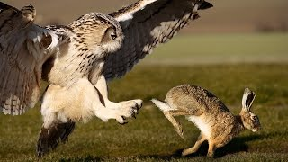 Download Owl Attacks Fearless Rabbit Video
