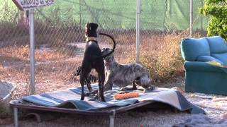 Download Happy happy galgos doing what they do best! Video