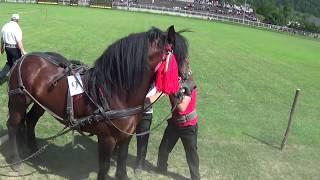Download Concurs cai de tracţiune - Draft Horse Pull Contest (Gura Humorului, Bucovina, Romania) Video