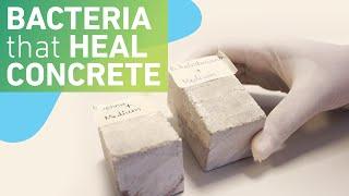 Download Using bacteria to make self-healing concrete Video