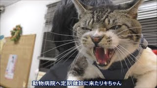 Download 超ゴジラな猫リキちゃん☆激おこ!威嚇!動物病院でも自宅警備員の意地を見せる?周囲の警戒が半端ない猫【リキちゃんねる 猫動画】Cat videos キジトラ猫との暮らし Video