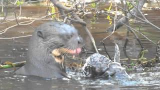 Download Giant Otter eating fish Trogon Tours - trogontours Video